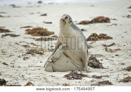the sealion is on the beach scratching himself