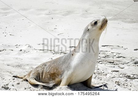 the sealion is walking along on the beach