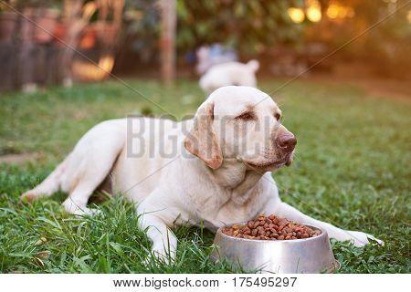 Labrador Eating In Park