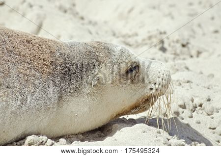 this is a close up of a sealion