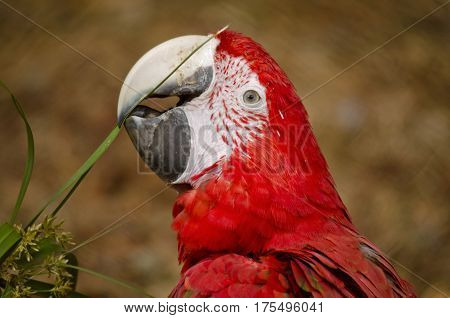 this is a close up of a scarlet macaw eating