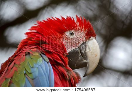 close up portrait of a scarlet macaw
