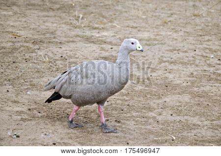 the cape barren goose is walking across the paddock