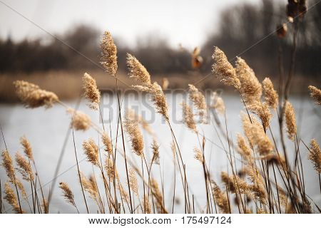 Beautiful Reed As Background At Windy Lake