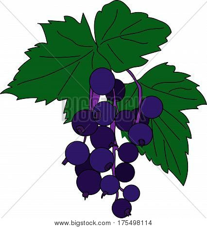 A twig of blackcurrant on a white background.