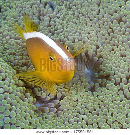 Yellow clownfish, Amphiprion sandaracinos, hiding in host sea anemone, Komodo Island, Indonesia, Indo-Pacific.
