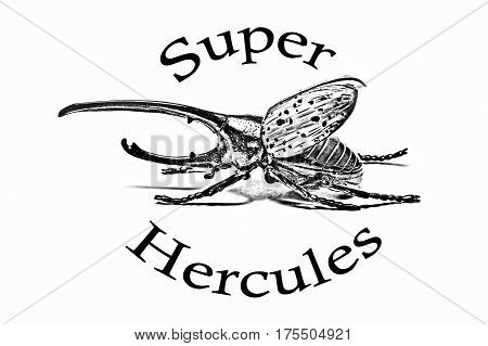 Pencil drawing of a beetle and signature Super Hercules