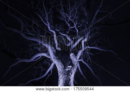 Spidery winter tree spotlighted from beneath giving it a spooky purple glow bare branches winter or halloween scene