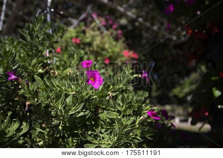 purple petunia flower surrounded by green leaves place in pot hanging in glasshouse close up selective focus greenhouse on background