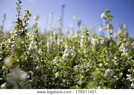 abstract gentle spring floral background greenery leaves and tinny white flowers close up at sunny day with blue sky selective focus soft focus blurre