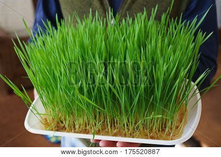 Man holding a tray of wheat grass ready to harvest.