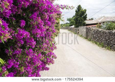 Reddish purple bougainvillea flowers beside sandy road in Taketomi island