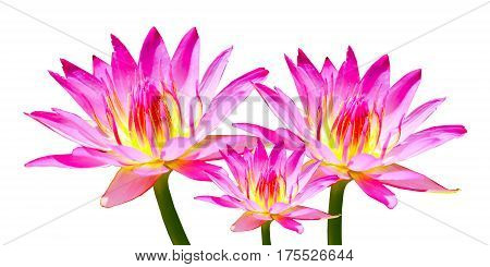 Pink  tree lotus isolate on white background.