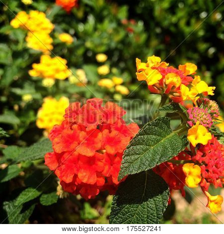 cloth of gold, reddish yellow flower in bright garden and leaf green
