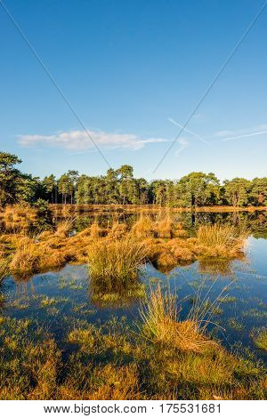 Group of clumps of bulrush plants reflecting in the mirror-smooth surface of a fen in a Dutch nature on a sunny day in the fall season.