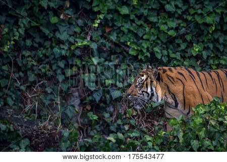 Sumatran Tiger Pacing Through Leaves Horizontal with Copy Space