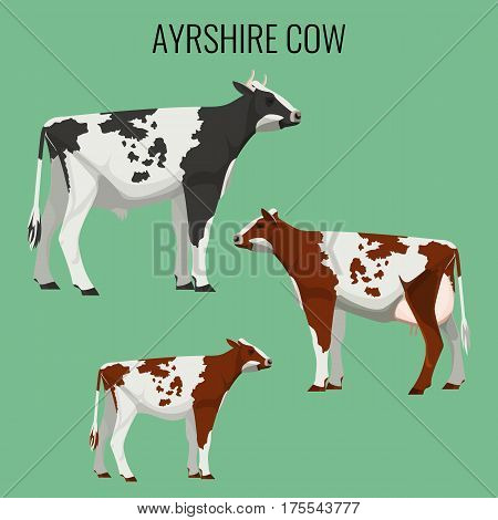 Ayrshire cows isolated on background. Vector illustration of realistic ayrshire dairy cattle with red, white and black markings.