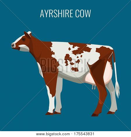 Ayrshire cow isolated on background. Vector illustration of realistic ayrshire dairy cattle with red and white markings.