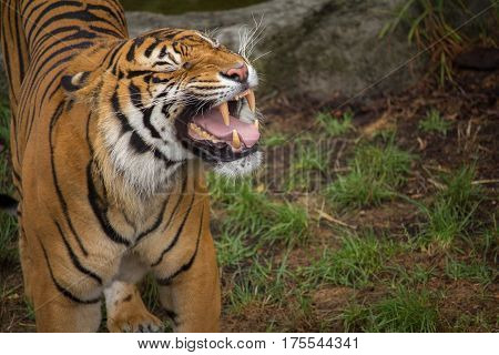 Sumatran Tiger Baring his Teeth Horizontal with Copy Space