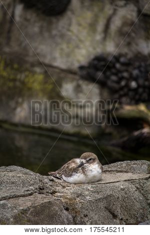 New Zealand Native Dotterel (Tuturiwhatu) Sitting on Rock Vertical with Copy Space