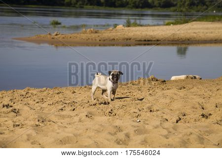 Dog Pug Walks On The Sandy Beach Near The River.