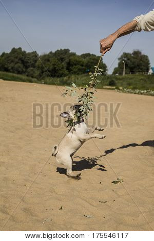 Pug Dog Playing With A Man On A Sandy Beach Near The River.