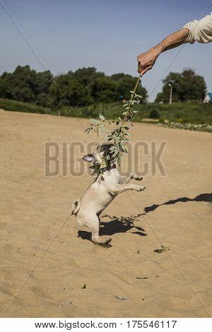 Pug Dog Playing With A Man On A Sandy Beach Near The River.