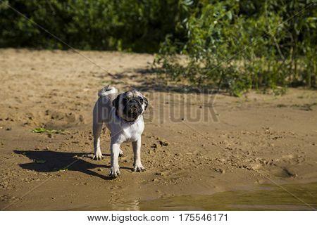 Dog pug walks on the sandy beach near the river on a clear summer day.