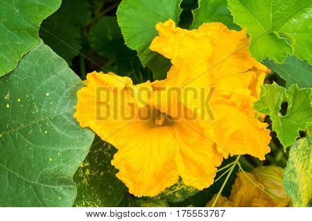 Pumpkin (Cucurbita pepo) yellow flower and green leaves. Close up.