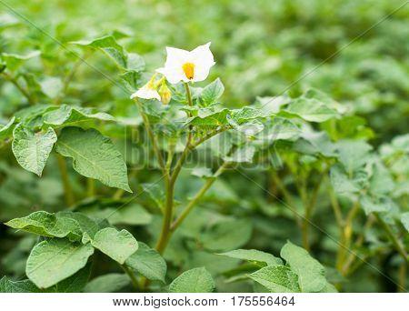 Blooming potato plants in the vegetable garden.