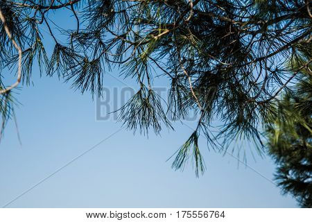 Close-up of pine branches against a blue sky background.