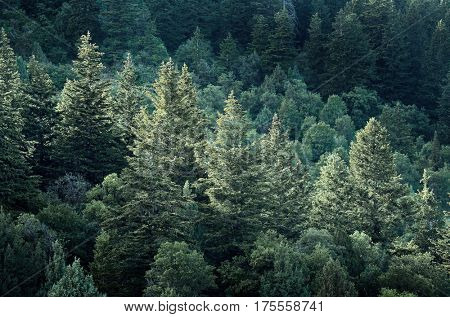 Forest of pine trees on mountainside