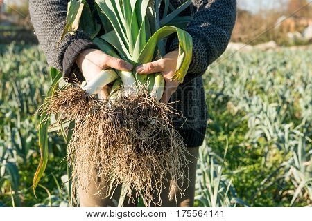 Hands Holding A Bundle Of Uprooted Leeks