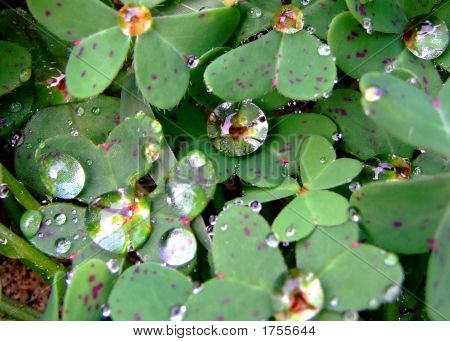 Dew Droplets On Green Clover