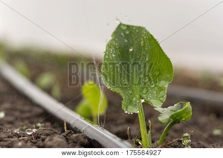 Small Wet Green Kala Leaves With Water Drops