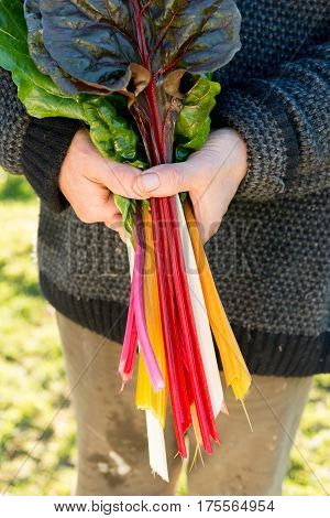 Hands Holding A Bunch Of Swiss Chard Leaves On Stalks