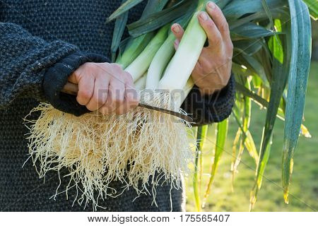Leek Roots About To Be Trimmed With A Knife