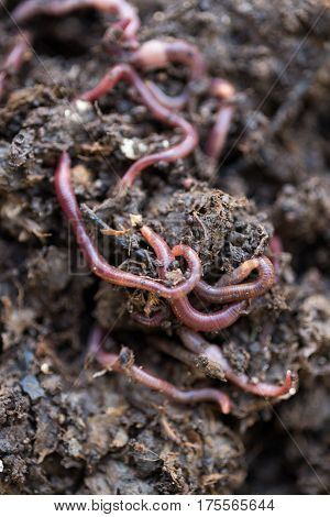 Closeup of live earthworms crawling on compost