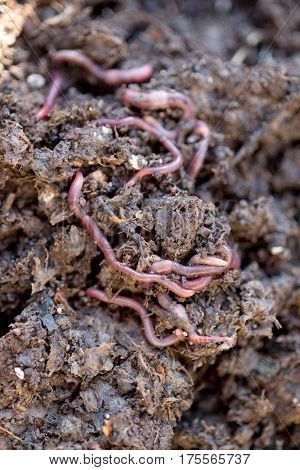 Earthworms Crawling On Compost