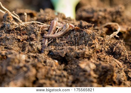 A pair of live earthworms crawling on compost