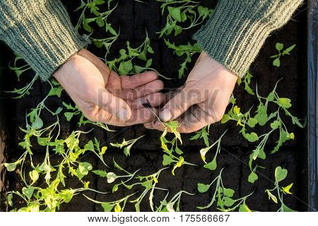 Overhead Of Hands Holding A Sapling