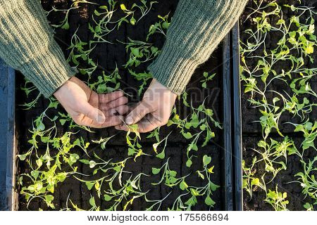 Hands Holding A Seedling With Seedling Boxes In Background