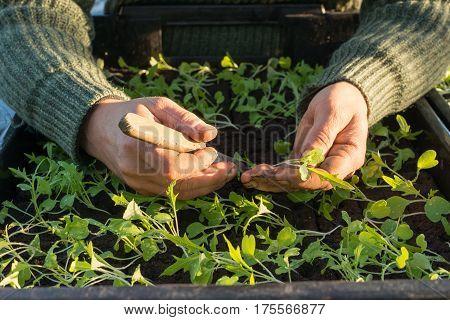 Hands With Knife Planting Seedling Into Seedling Box