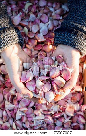 Garlic Cloves In Cupped Hands With Crate Of Garlic In Background