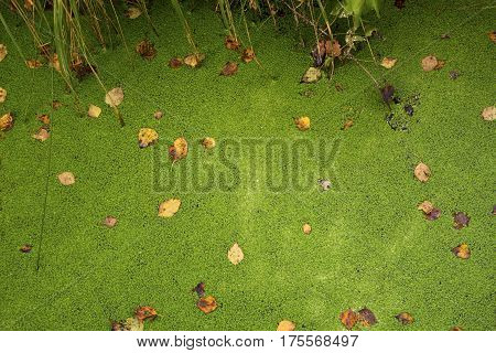 Green background of a duckweed on the swamp with the fallen-down yellow leaves