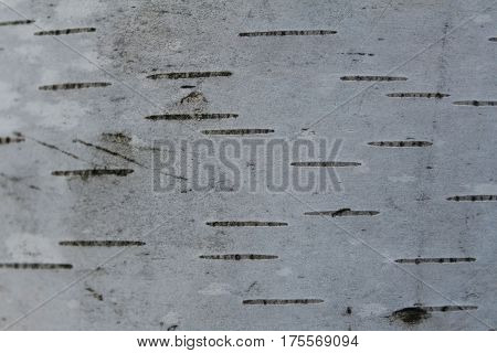 Old rough wood texture. Wooden texture. Wooden background. Tree texture. Tree background. Crack tree texture. Old tree texture. Old tree background. Exotic tree texture. Nature texture background. Birch.