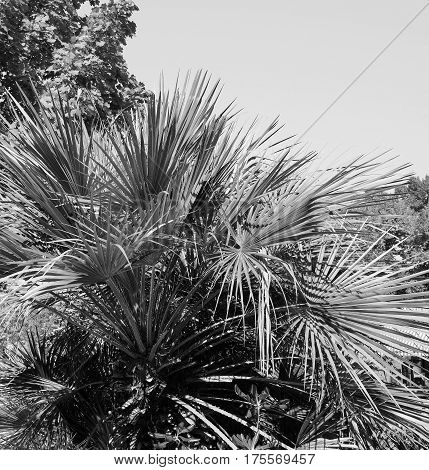 Palm Tree Leaves In Black And White