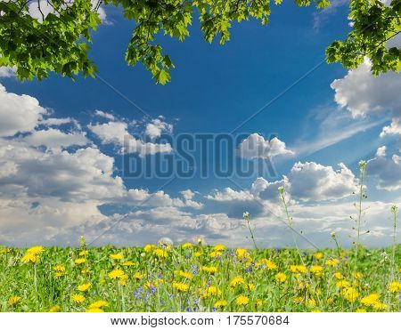 Background of the daytime sky with cumulus clouds maple branches from above and a lawn with spring flowers from below