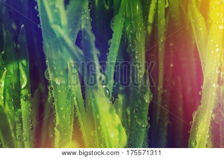 Macro view of green grass. Large drops of dew on fresh green grass. Multi-colored illumination of the frame