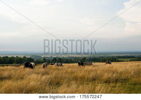 Herd of cows in the pasture in the Carpathian region in Ukraine.